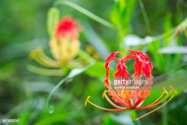 Climbing Lily in nature field