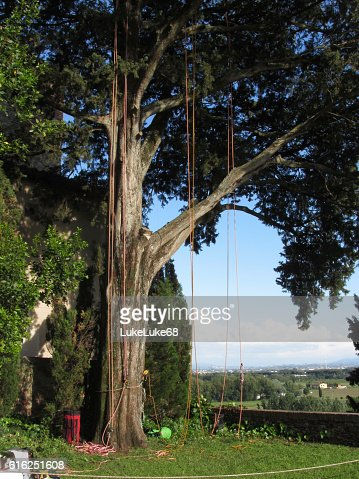 Climbing ropes hanging from a big tree : Foto de stock