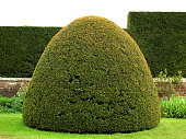 clipped yew