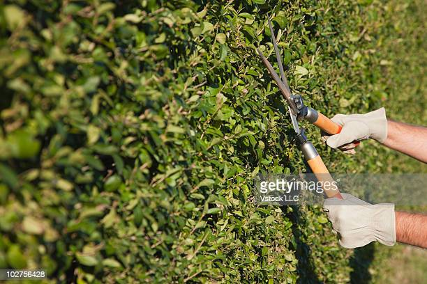 Clipping bushes with pruning shears