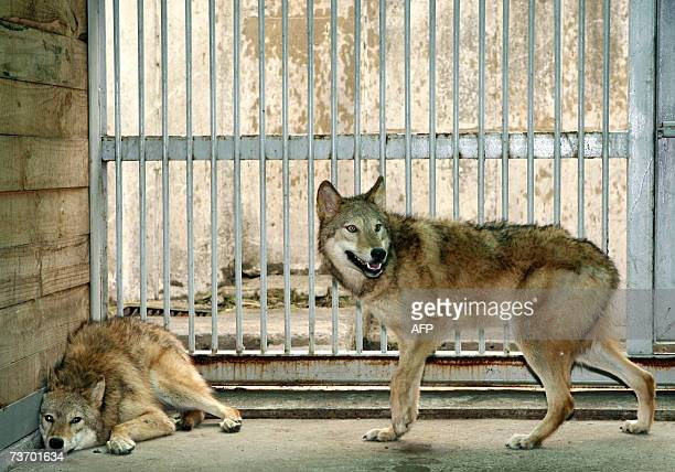 Cloned female wolfs named Snuwolf and Snuwolffy are seen in a cage at a zoo in southern Seoul 26 March 2007 South Korean scientists who created the...