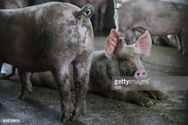 Cloned pigs are pictured on July 4 2017 in Tianjin China World's first case of pigs cloned by robot was successful in Tianjin Professor Zhao Xin of...