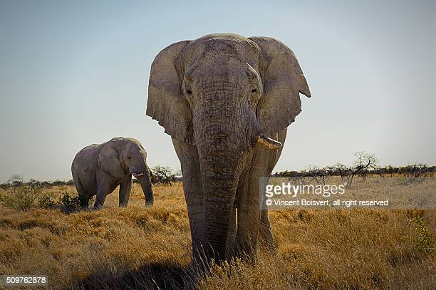 A close look of an African elephant