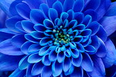 Close up of blue flower aster and petals