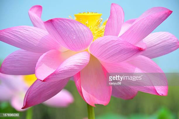 近くのピンクの蓮の花