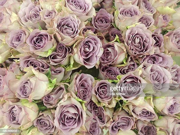 A close - packed cluster of lilac roses