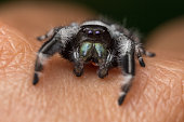 A close portrait of a beautiful jumping spider of species Phidippus regius