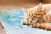 Close View Of Red Tabby Mixed Breed Short-Haired Domestic Young Cat, Sleeping Curled Up On Blue Mat On Floor.