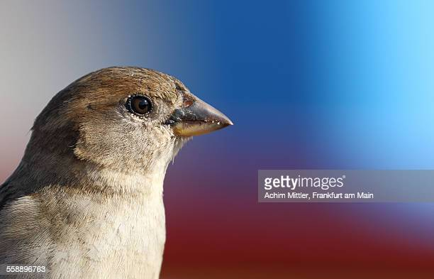 Close side view of female house sparrow