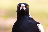 It's spring time in Australia as this magpie hunts for food on a hot day. finding a cache of seeds, he tries to collect them all in his beak at once. Notorious for swooping pedestrians and cyclists th