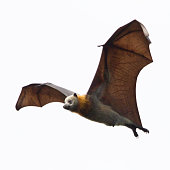 Close up of a grey headed flying fox in mid air. Victoria, Australia.