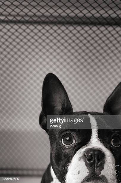 Close Up Black & White Image of Caged Boston Terrior
