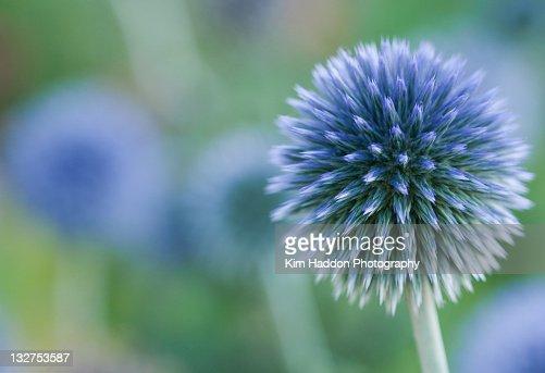 Close up Blue Globe Thistle