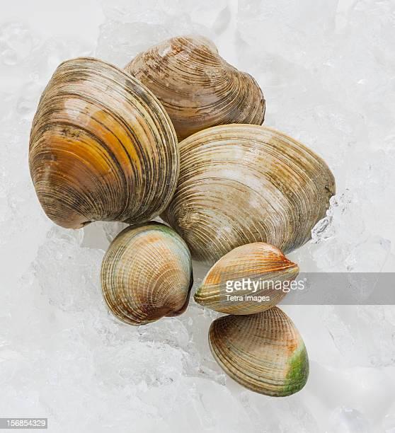 Close up clams, studio shot