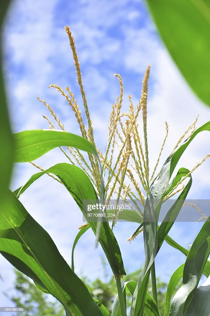 close up corn in bloom : Stock Photo