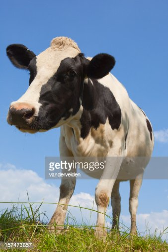 Close Up Cow