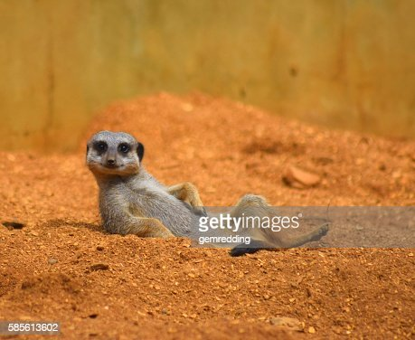 close up cute meerkat animal relaxing in the dessert : Foto de stock