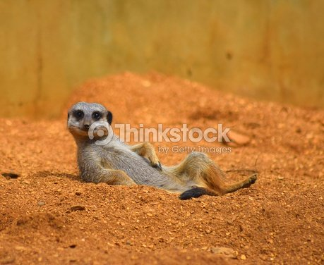 close up cute meerkat animal relaxing in the dessert : Foto de stock