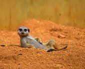 close up cute meerkat animal relaxing in the dessert
