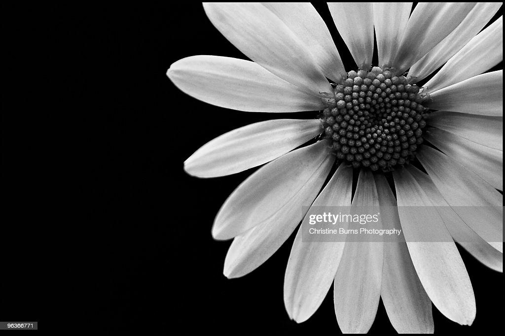 Close up Daisy : Stock Photo