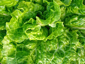 Macro close-up detailed colorful photo of a delicious green leaves of lettuce.