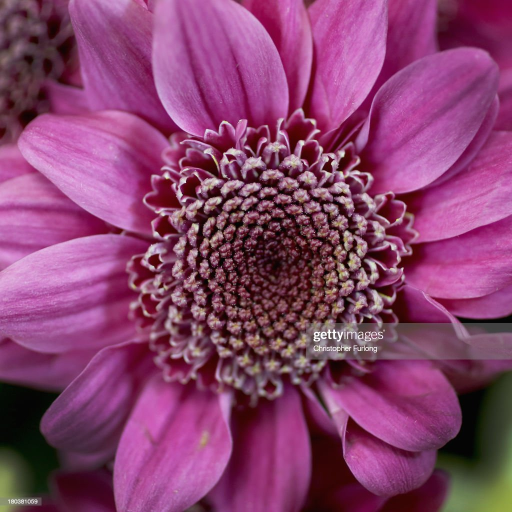 A close up detailed view of a Chrysanthemum Rejoice during preparations for the annual Harrogate Autumn Flower Show on September 12, 2013 in Harrogate, England. Gardeners and horticulturalists from across Britain descend on the Yorkshire Showground every Autumn to show off their prized crops of vegetables, flowers and plants in the hope of a coveted award from the judges. The show which is organised by the North of England Horticultural Society is open to the public from 13-15 September.