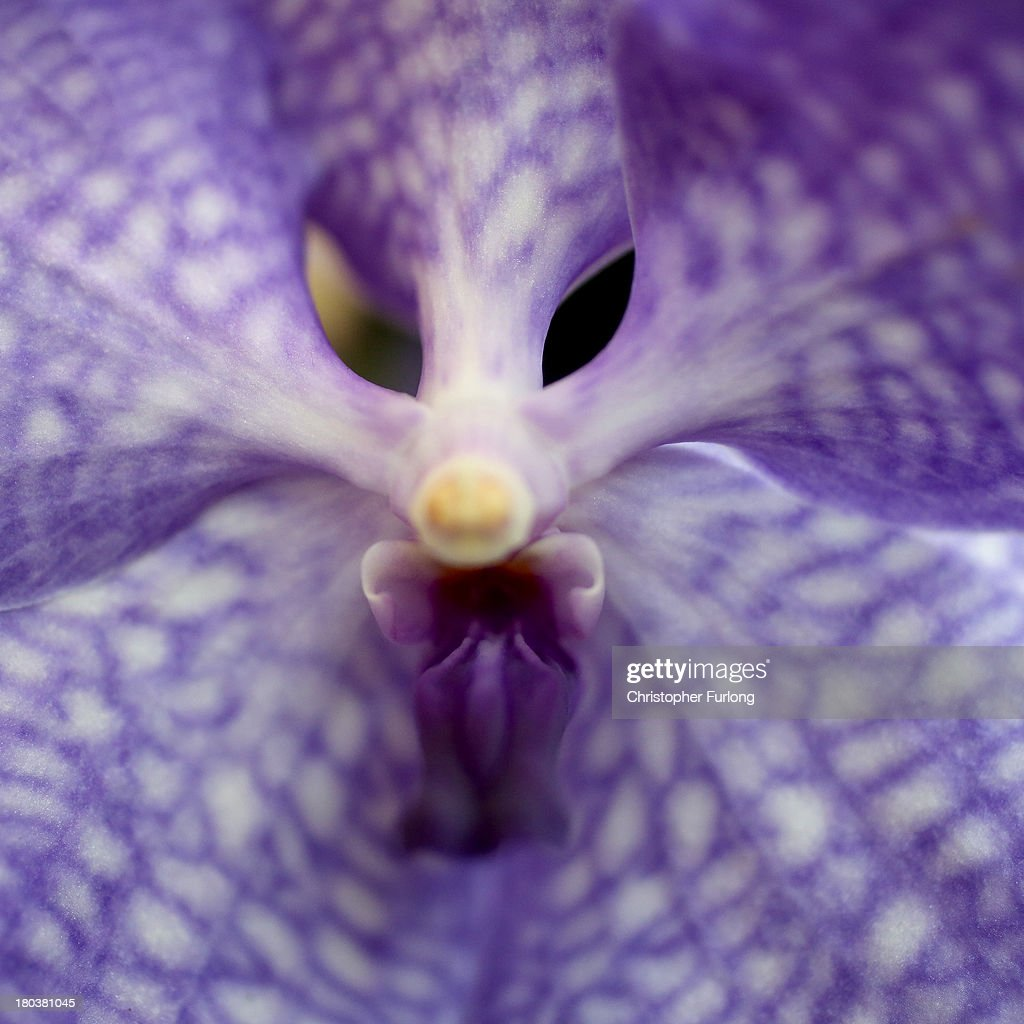 A close up detailed view of a Vanda Blue Magic Orchid during preparations for the annual Harrogate Autumn Flower Show on September 12, 2013 in Harrogate, England. Gardeners and horticulturalists from across Britain descend on the Yorkshire Showground every Autumn to show off their prized crops of vegetables, flowers and plants in the hope of a coveted award from the judges. The show which is organised by the North of England Horticultural Society is open to the public from 13-15 September.