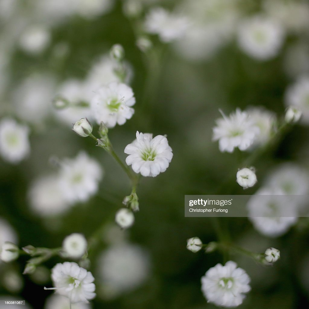 A close up detailed view of Summer Sparkles Gypsophila during preparations for the annual Harrogate Autumn Flower Show on September 12, 2013 in Harrogate, England. Gardeners and horticulturalists from across Britain descend on the Yorkshire Showground every Autumn to show off their prized crops of vegetables, flowers and plants in the hope of a coveted award from the judges. The show which is organised by the North of England Horticultural Society is open to the public from 13-15 September.