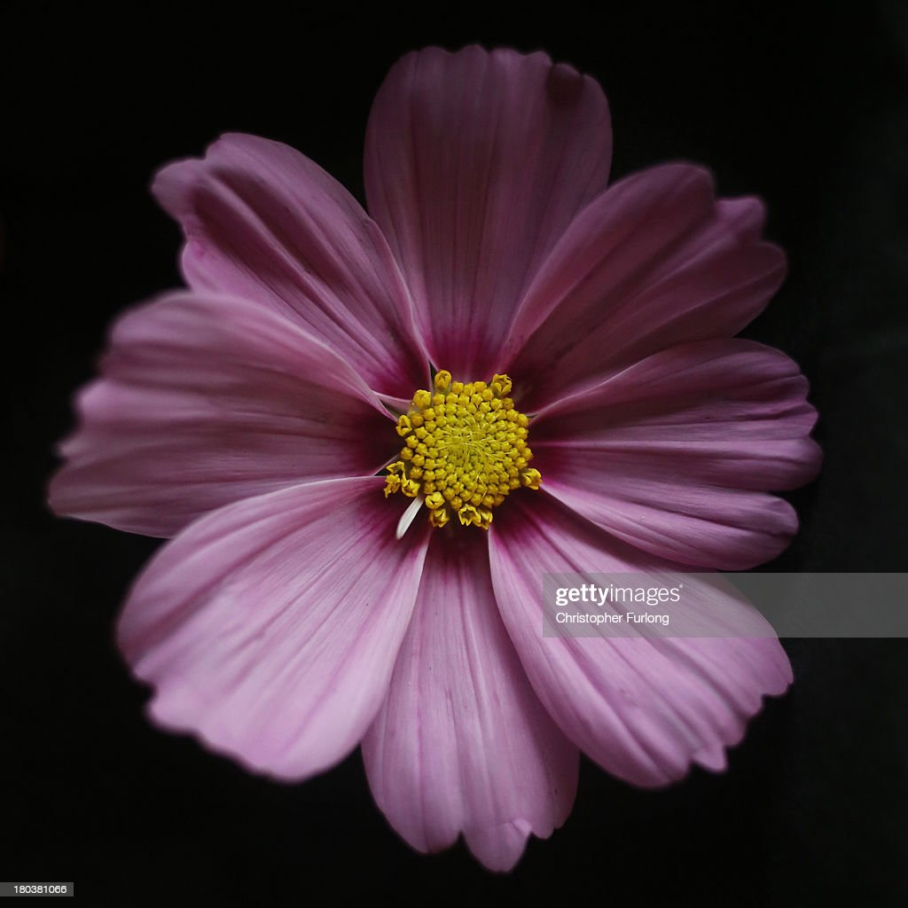 A close up detailed view of the flower of a Cosmos Dwarf Wonder Mixed during preparations for the annual Harrogate Autumn Flower Show on September 12, 2013 in Harrogate, England. Gardeners and horticulturalists from across Britain descend on the Yorkshire Showground every Autumn to show off their prized crops of vegetables, flowers and plants in the hope of a coveted award from the judges. The show which is organised by the North of England Horticultural Society is open to the public from 13-15 September.