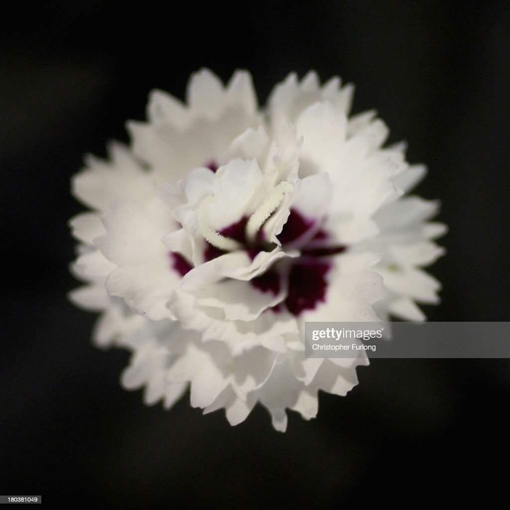 A close up detailed view of the flower of a Dianthus Silver Star during preparations for the annual Harrogate Autumn Flower Show on September 12, 2013 in Harrogate, England. Gardeners and horticulturalists from across Britain descend on the Yorkshire Showground every Autumn to show off their prized crops of vegetables, flowers and plants in the hope of a coveted award from the judges. The show which is organised by the North of England Horticultural Society is open to the public from 13-15 September.
