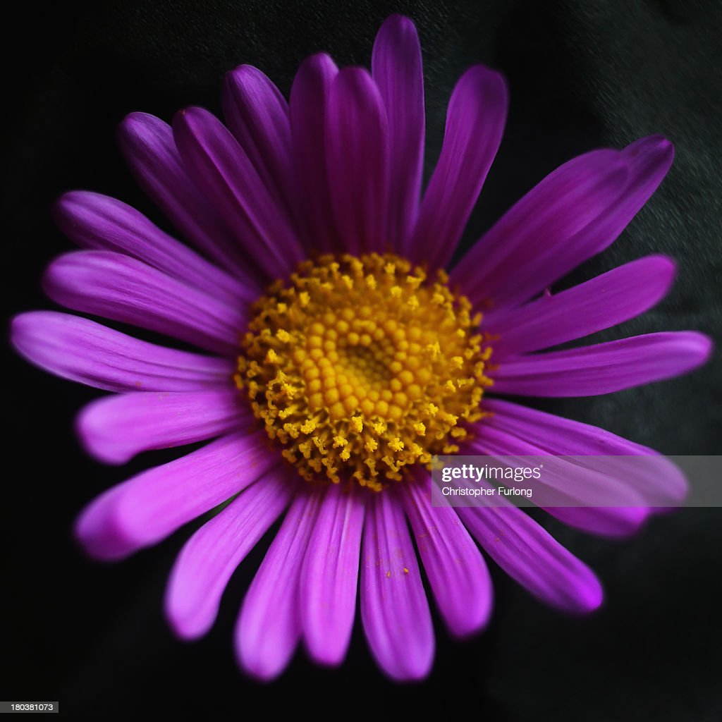 A close up detailed view of the flower of a Senecio Pulcher during preparations for the annual Harrogate Autumn Flower Show on September 12, 2013 in Harrogate, England. Gardeners and horticulturalists from across Britain descend on the Yorkshire Showground every Autumn to show off their prized crops of vegetables, flowers and plants in the hope of a coveted award from the judges. The show which is organised by the North of England Horticultural Society is open to the public from 13-15 September.