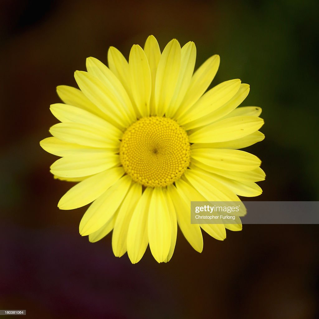 A close up detailed view of the flower of an Anthemis during preparations for the annual Harrogate Autumn Flower Show on September 12, 2013 in Harrogate, England. Gardeners and horticulturalists from across Britain descend on the Yorkshire Showground every Autumn to show off their prized crops of vegetables, flowers and plants in the hope of a coveted award from the judges. The show which is organised by the North of England Horticultural Society is open to the public from 13-15 September.