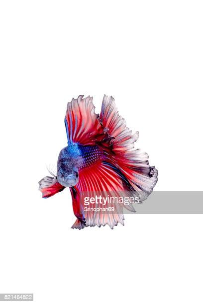 Close up face siamese fighting fish, betta isolated on white background.