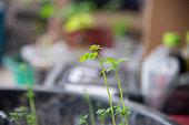 Close up Green Moringa plant in nature.