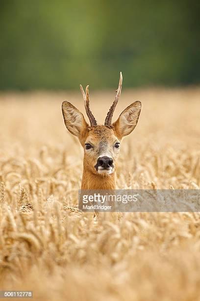 close up head shot of a roe deer