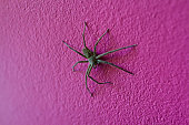 Close up common,domestic,banana brown huntsman,housekeeping spider, Heteropoda venatoria spider is hanging ( or perched ) on a pink wall in the house. It have long legs.