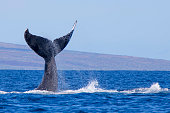 Close up Humpback Whale tail as whale dives into ocean