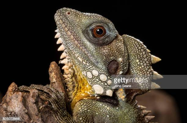 A close up image of a Boyd's forest dragon The Boyd's forest dragon is found in rainforests and their margins in the Wet Tropics region of northern...