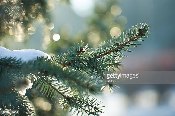 Close up image of a snowy evergreen tree in winter