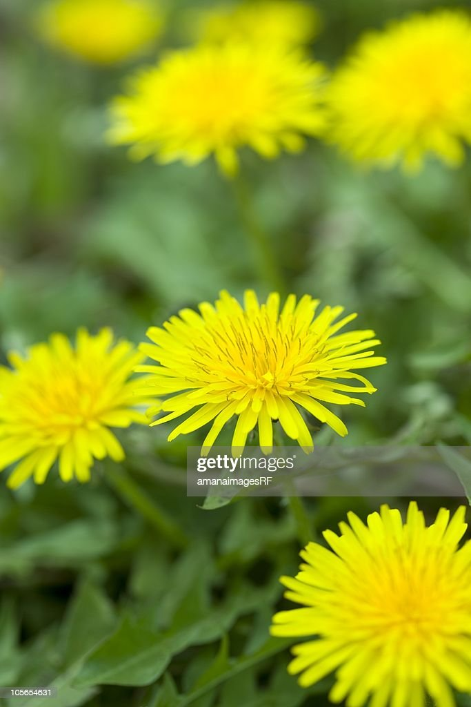 Close Up Image of Dandelions : Stock Photo