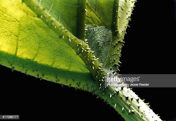 Close up isolation of Gunnera plant leaf