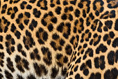 Close up leopard fur background.