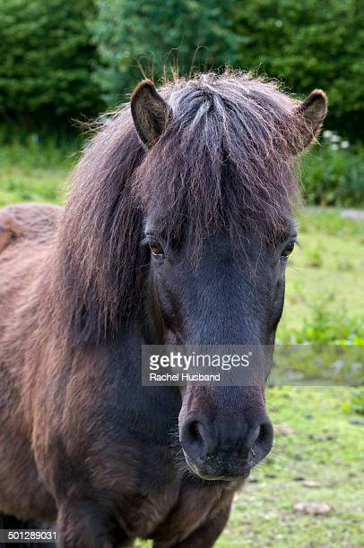 Close up o shetland pony in field