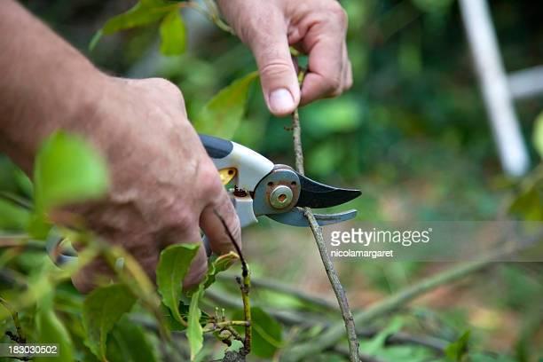 Tailler arbre avec secateurs