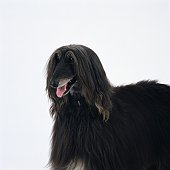 Close up of a an Afghan hound