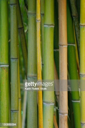 Close up of a bamboo forest yellow and green sticks