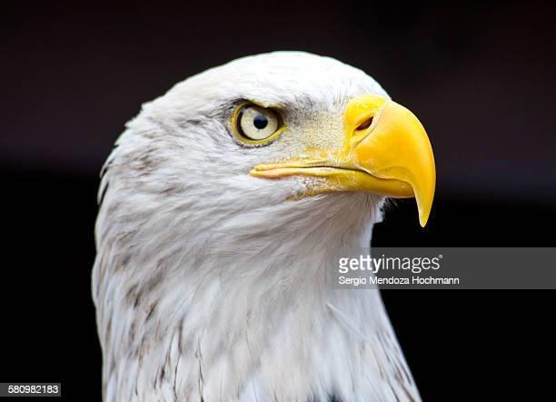 Close up of a beautiful bald eagle