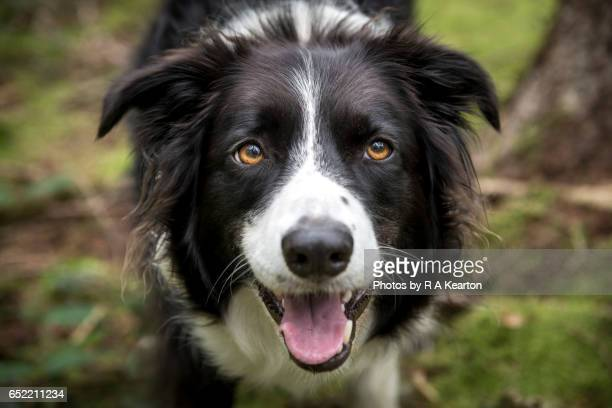 Close up of a beautiful Border Collie dog