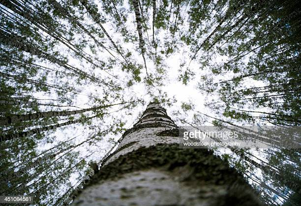 Close up of a birch tree