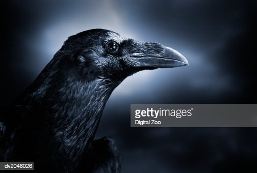 Close up of a Black Crow